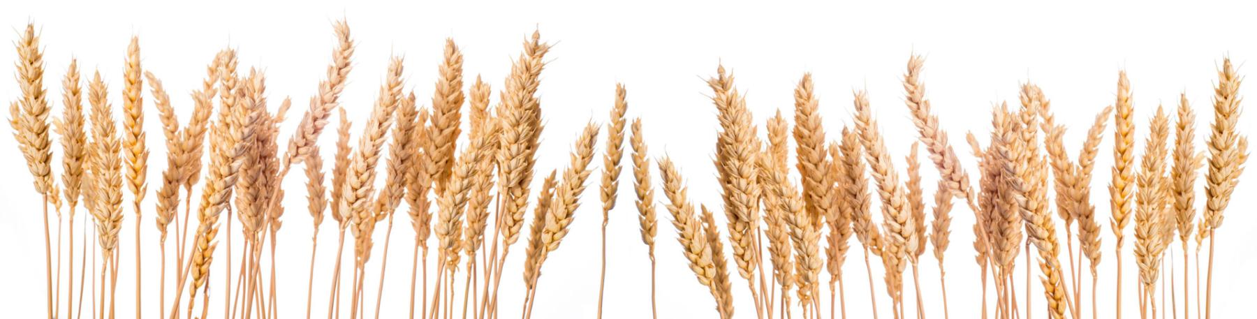 wheat-bottom-background